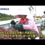 五島のウチワエビ漁 解禁